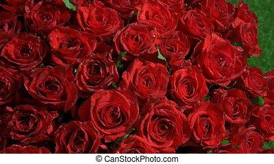 roses, ensoleillé, énorme, rouges, grass., beau, bouquet, été, jardin, day., flowers.