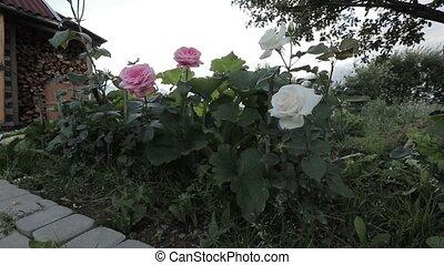 roses, jardin
