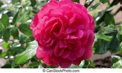 roses, pluie