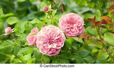 roses roses, souffler, vent
