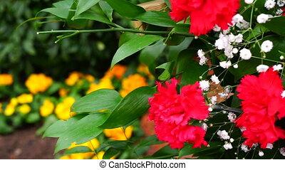 roses rouges, détail, jardin