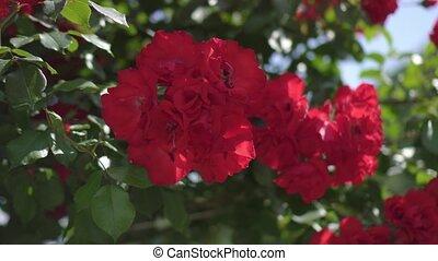 roses, soleil rouge, beau