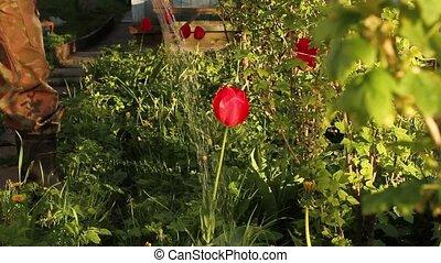 rouges, arrosage, eau, tulipe, can.