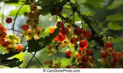 rouges, branche, groseille
