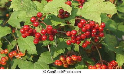 rouges, buisson, baies, viburnum