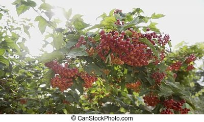 rouges, countryside., viburnum, baies, branche