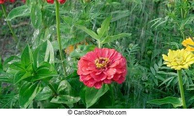 rouges, fin, zinnia, arrosage, flowers., fleur, soin, usines, fleurs, croissant, haut.