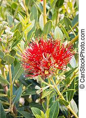 rouges, fleur, arbre, pohutukawa, fleurs