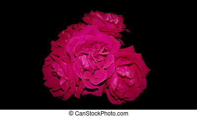 rouges, mort, roses