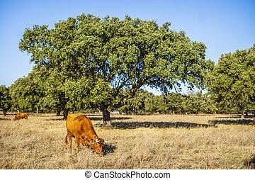 rouges, pâturage, paysage, alentejo, vaches, portugal, -, arbres, bouchon