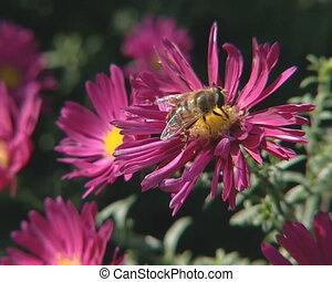rouges, ramassage, nectar, insecte