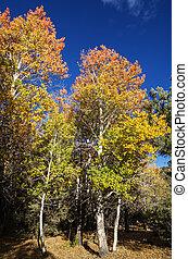 rouges, tremble, jaune, arbres, automne
