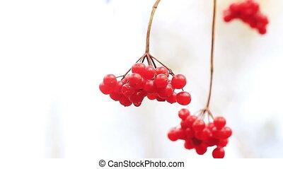 rouges, viburnum