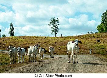 route, pays, marche, bétail