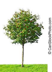 rowan, arbre