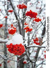 rowan, couvert, neige