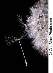 ruderalia), 2, graine, (teraxacum, pissenlit