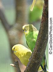 séance, couple, arbre, vert jaune, perruche