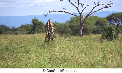 safari., mouvement, manger, tanzanie, girafe, africaine, savanah, lent, herbe