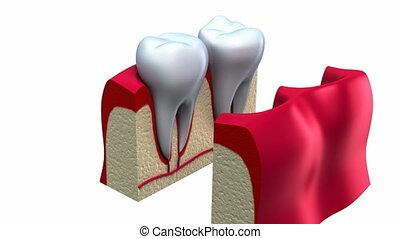 sain, anatomie, détails, dents