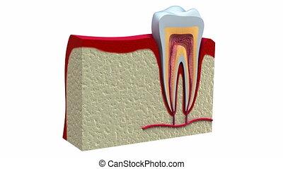 sain, anatomie, dentaire, dents