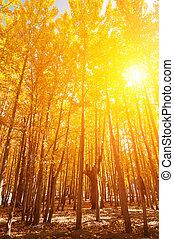 saisons, tremble, arbres, automne