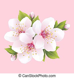 sakura, floraison, branche, blanc