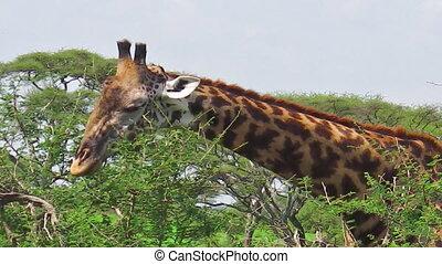 salade verte, girafe, manger