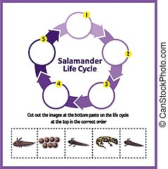 salamandre, cycle vie, diagramme