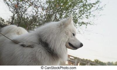 samoyed, race, aboiements, chien