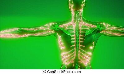 sanguine, corps, humain, vaisseaux