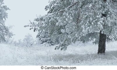 sapin, neige, arbre noël, neiger, hiver, forêt, branche, sauvage