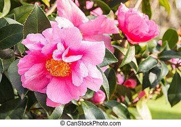 sasanqua, rose, camélia, arrière plan flou, fleur, fleurs