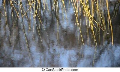 saule, branches, feuilles, sans, pendre, trembler, wind., eau, sur