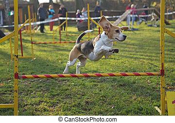 sauter, beagle, chienne