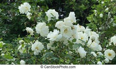 sauvage, 4k, roses, blanc, vent, vidéo, jardin, mouvement