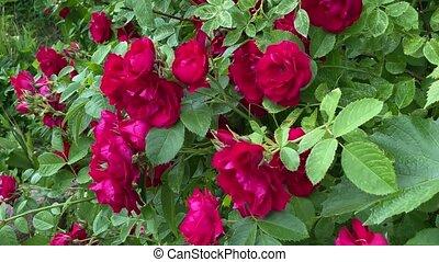 sauvage, 4k, roses, vent, rouges, vidéo, jardin, mouvement