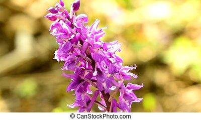 sauvage, allemagne, forêt, printemps, orchidée