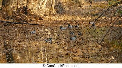 sauvage, automne, natation, étang, canards