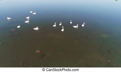 sauvage, blanc, vidéo, lac, aérien, cygnes