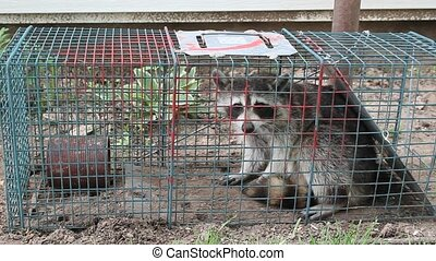sauvage, capture, humain, raton laveur