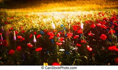 sauvage, champ, coucher soleil, fleur
