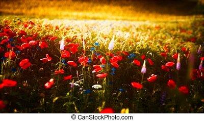 sauvage, champ, fleur, coucher soleil