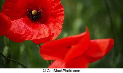 sauvage, champ, fleur, pavot rouge