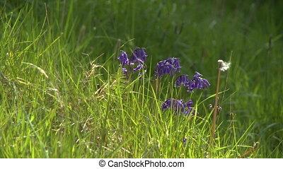 sauvage, champ, fleurs, harebell