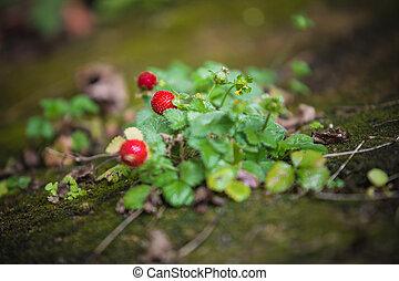 sauvage, fruit, pousse feuilles, vert, fraise, usine rouge
