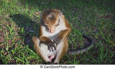 sauvage, lanka, adorable, singe, sri, polonnaruwa
