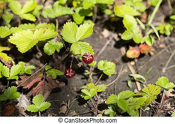 sauvage, leafs., plante, vert, fraise