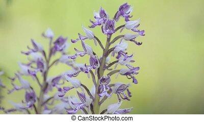 sauvage, orchidée