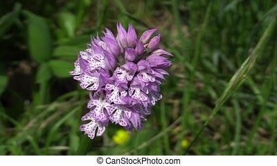sauvage, orchis, tridentata, détail, orchidée
